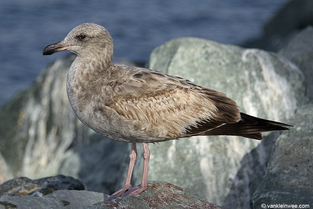 Rather typical Second-calendar year Western Gull moulting to second-prebasic plumage.  Note the dark second-generation feathers on the head and in the neck, breast, flanks, mantle and scapulars. Some of the inner median coverts have been dropped, thereby exposing the base of the underlying greater coverts. The brown, first-generation feathers are worn with abraded edges.