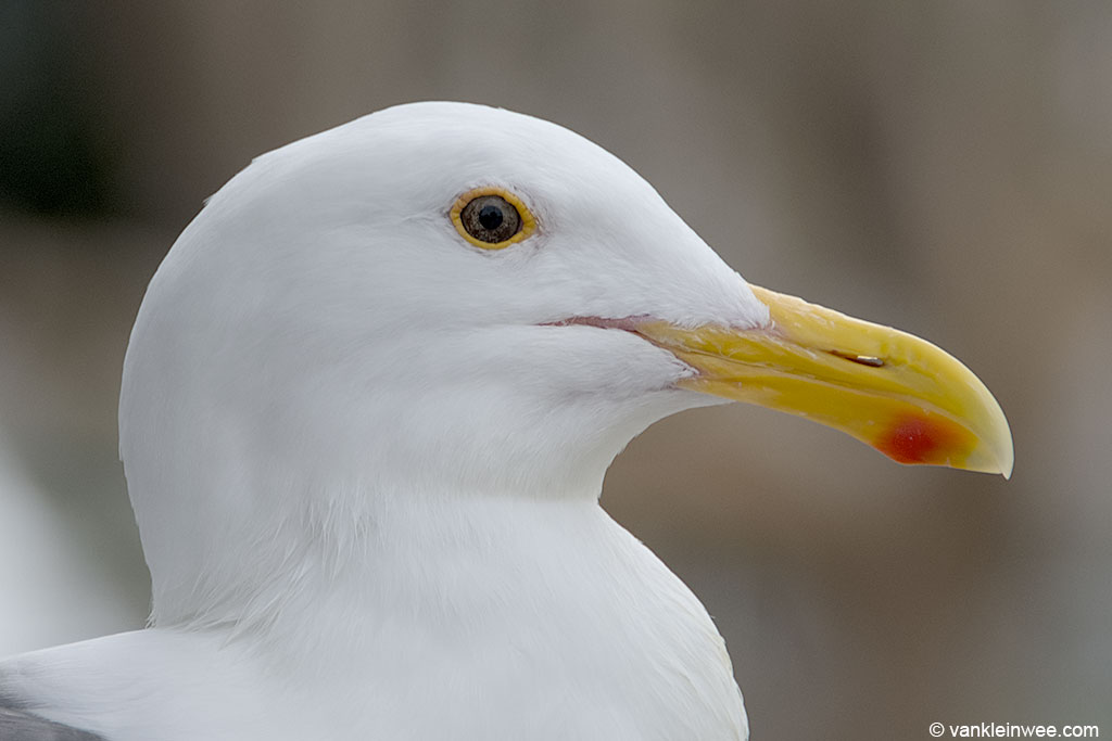 Close-up of the head of an adult Western Gull. Characteristic are the dark iris, the yellow orbital ring and the large bill with bulbous tip.