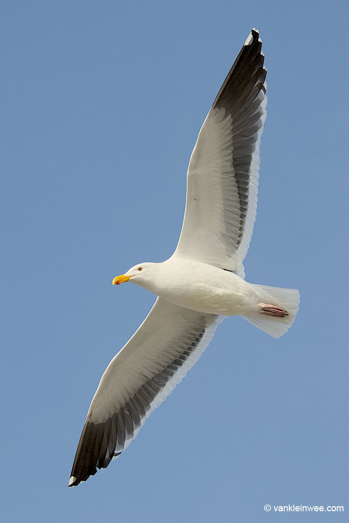 Adult Western Gull. In flight with characteristic dark secondaries. San Diego, USA, 11 April 2013.