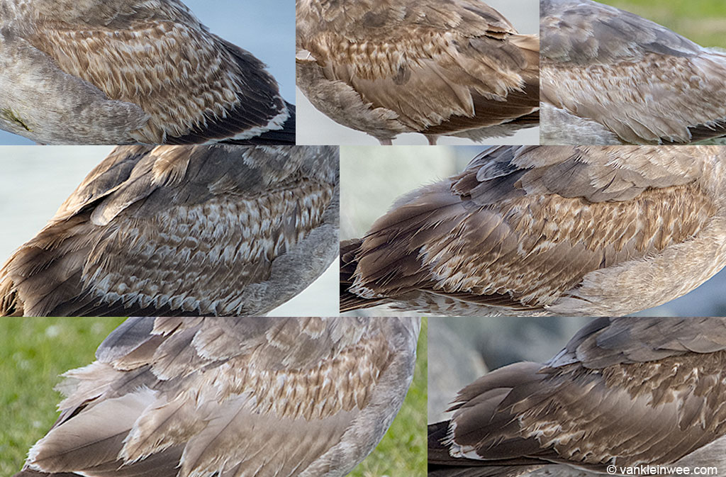 Median coverts of second-calendar year Western Gulls