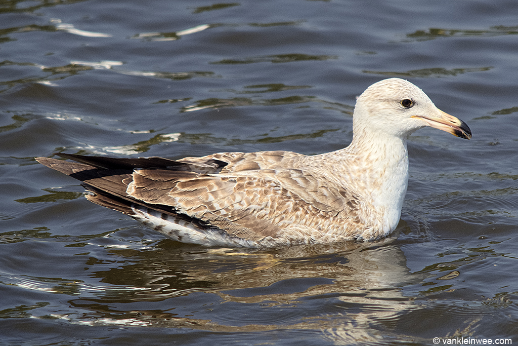 2nd-Calendar year Lesser Black-backed Gull with yellow bill and active moult. Leiden, The Netherlands, 28 May 2013.