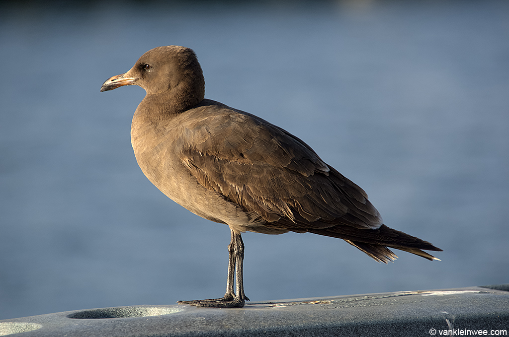 2nd-calendar year Heermann's Gull, San Diego, California, USA, 9 Aprl 2013.