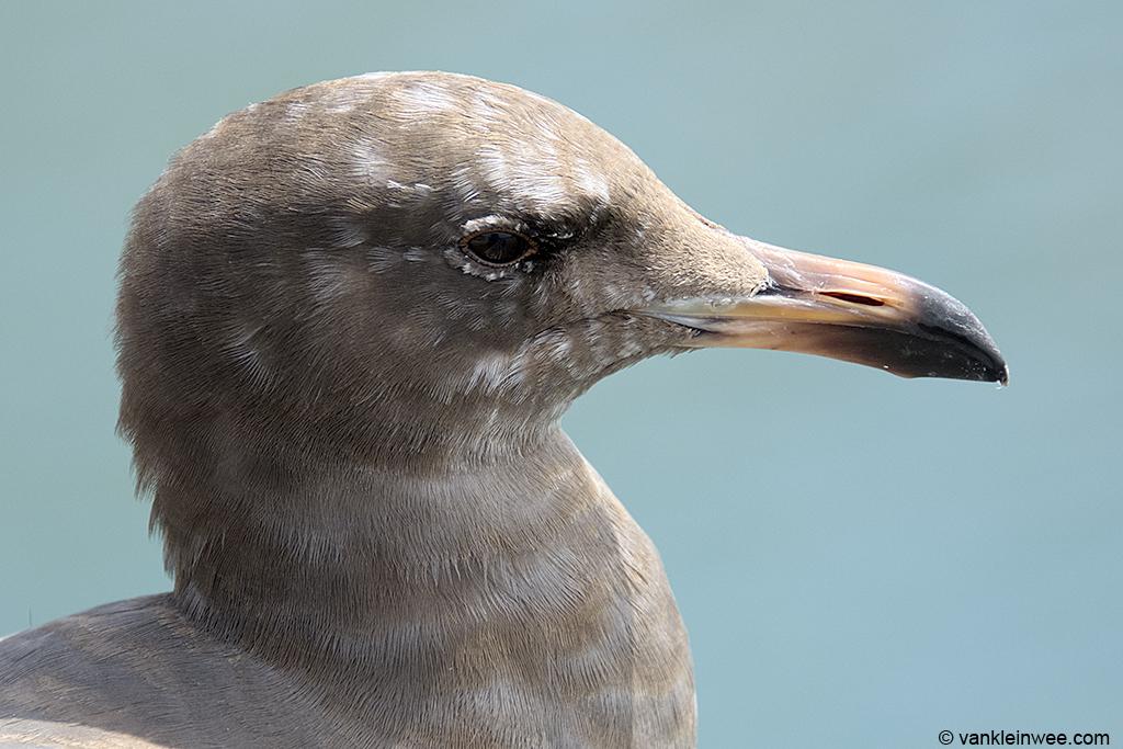 2nd-calendar year Heermann's Gull, San Diego, California, USA, 7 Aprl 2013.