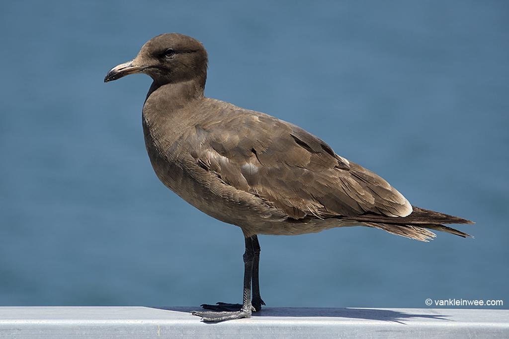 2nd-calendar year Heermann's Gull, San Diego, California, USA, 10 Aprl 2013.