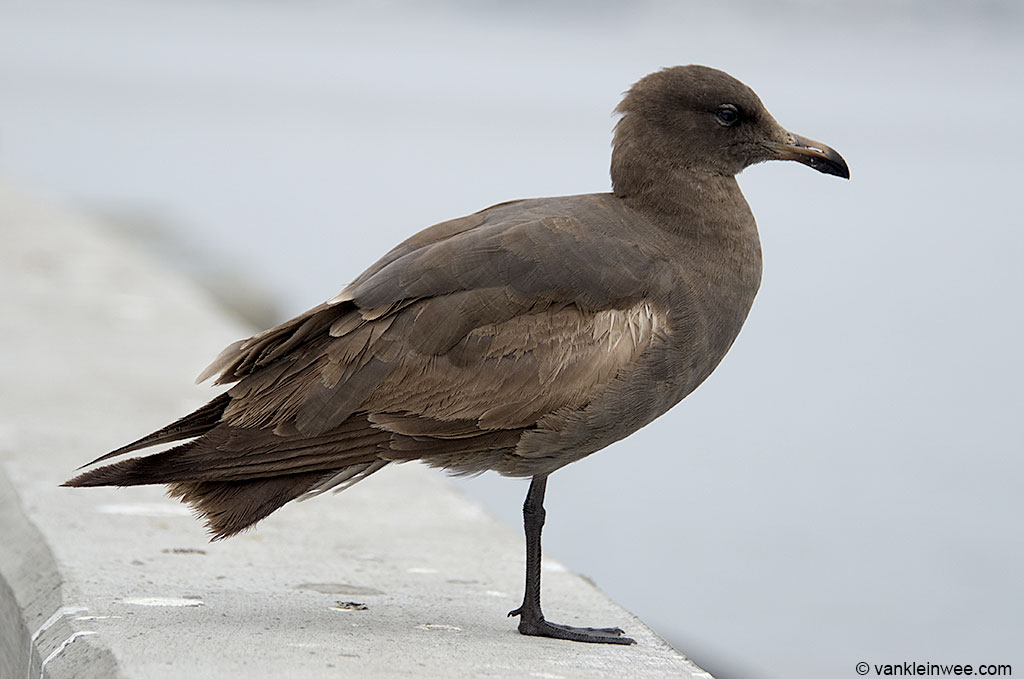 Second-calendar year Heermann's Gull. San Diego, USA, 7 April 2013.