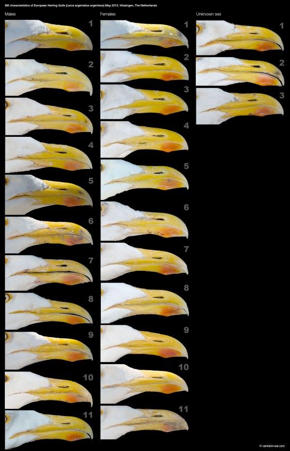 Bill characteristics in European Herring Gulls (Larus argentatus argenteus). May 2013, Vlissingen, The Netherlands.