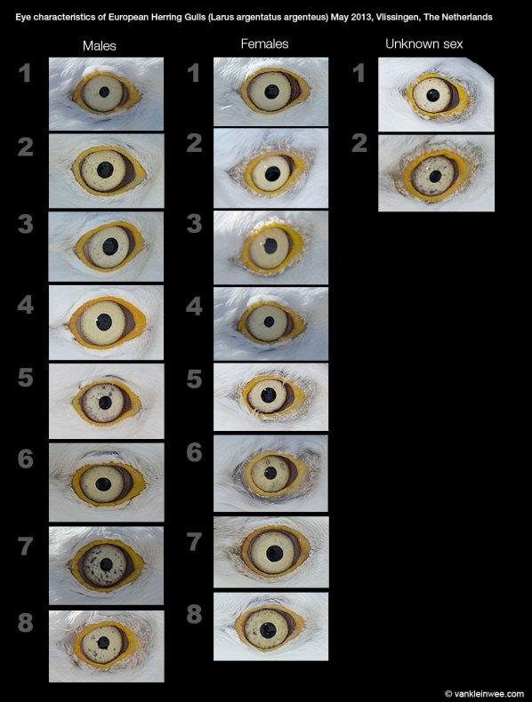 Eye haracteristics in European Herring Gulls (Larus argentatus argenteus). May 2013, Vlissingen, The Netherlands.