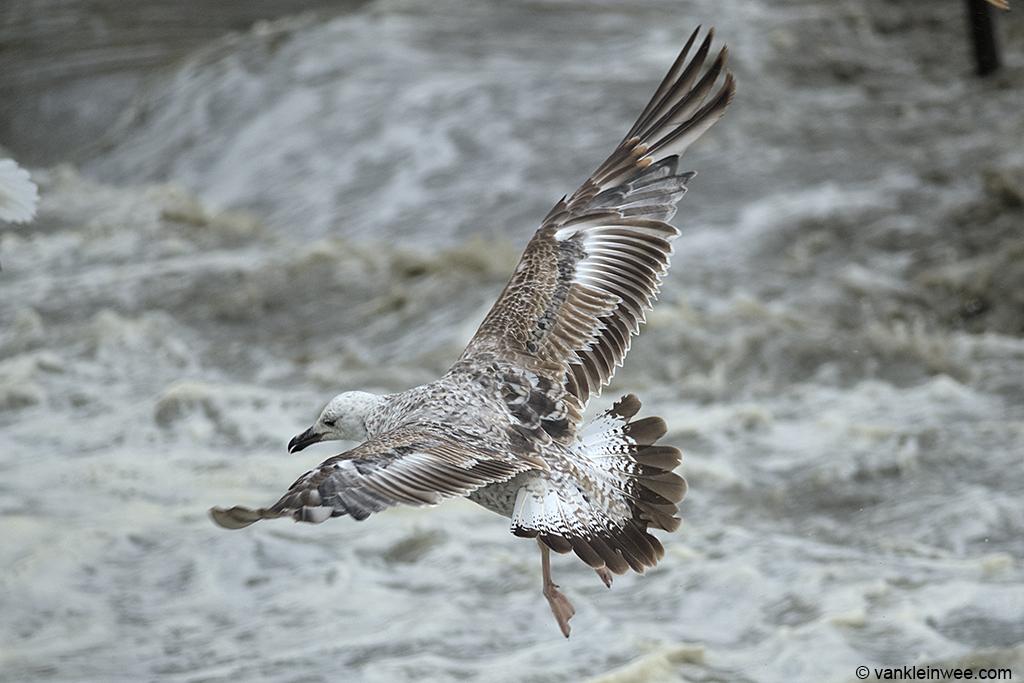Second-calendar year Caspian Gull (Larus cachinnans). Noordwijk aan Zee, The Netherlands, 22 June 2013.