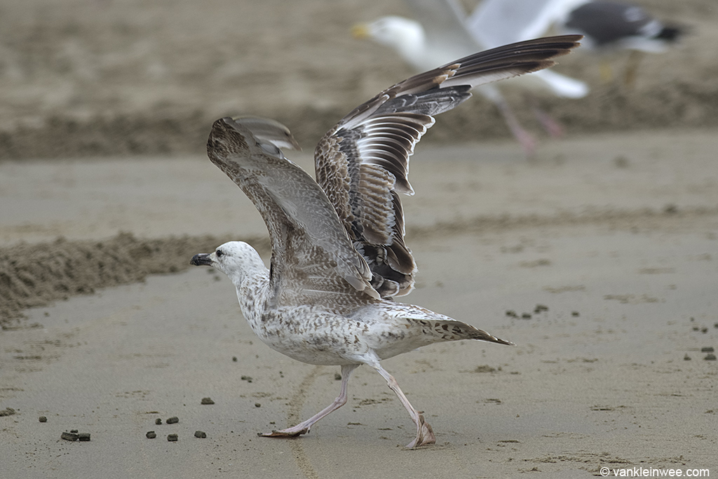 Second-calendar year Caspian Gull (Larus cachinnans). Noordwijk aan Zee, The Netherlands, 23 June 2013.