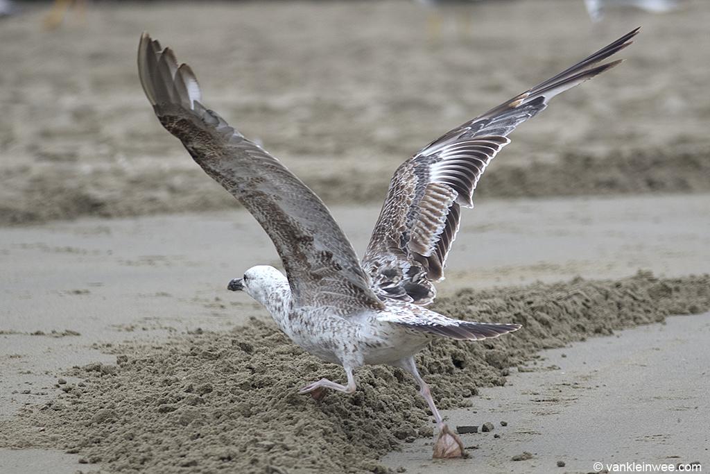 Second-calendar year Caspian Gull (Larus cachinnans). Noordwijk aan Zee, The Netherlands, 23 June 2013.