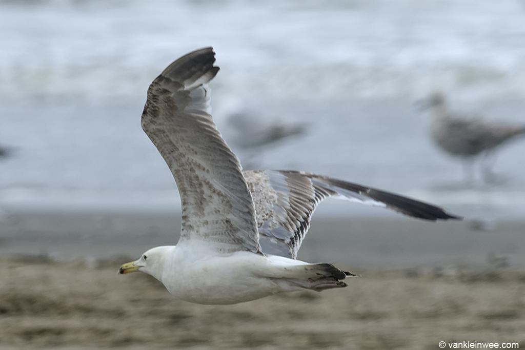 Third-calendar year Caspian Gull (Larus cachinnans). Noordwijk aan Zee, The Netherlands, 23 June 2013.