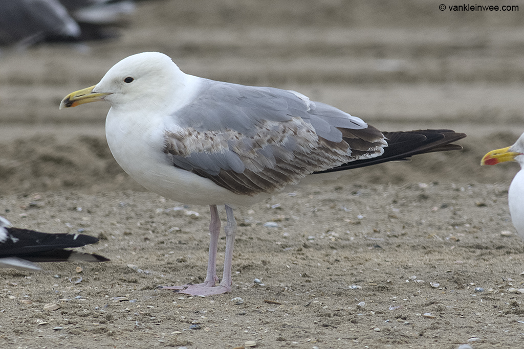 Third-calendar year Caspian Gull (Larus cachinnans). Noordwijk aan Zee, The Netherlands, 23 June 2013.