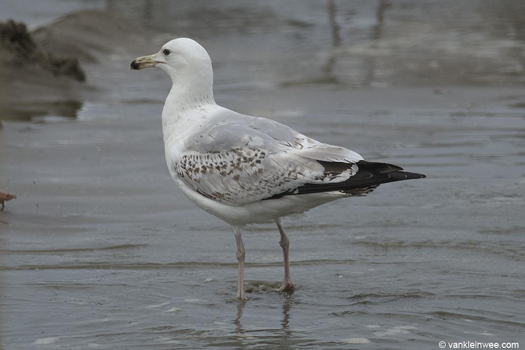3rd-Calendar year Caspian Gull. Noordwijk aan Zee, The Netherlands, 14 June 2013.