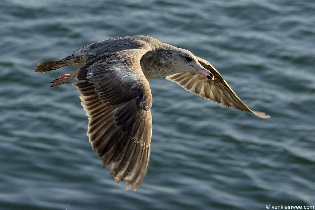 Second-calendar year California Gull. San Diego, California, USA, 9 April 2013.