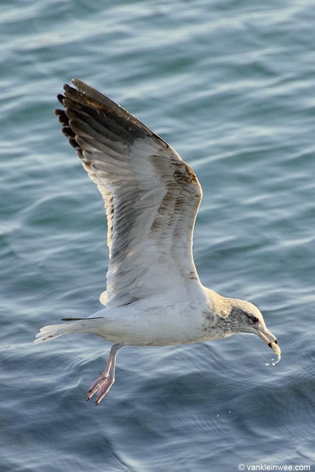 Third-calendar year California Gull, San Diego, California, USA, 10 April 2013.