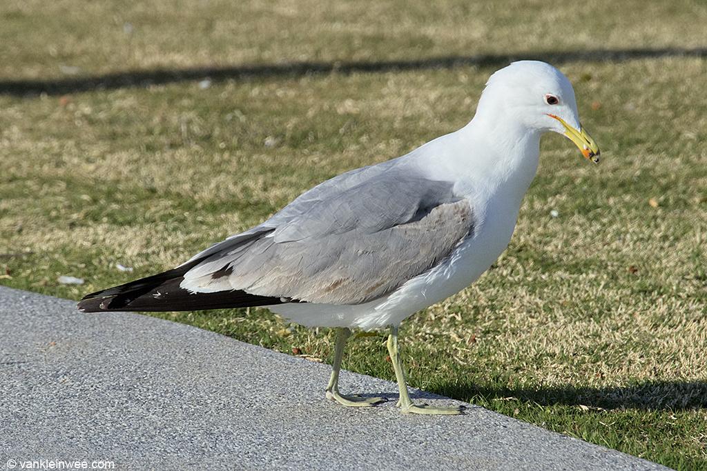Fourth-calendar year California Gull. San Diego, California, USA, 8 April 2013.