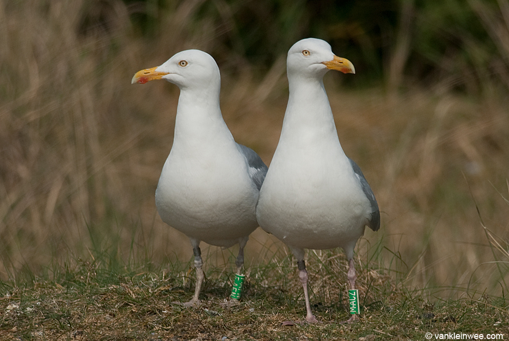 Herring Gull pair Green F.AFN (female) with male partner Green M.ACZ in the gull colony of Texel in May 2011. Many ring readers throughout Western Europe will be familiar with the green color rings that are being used in this project.