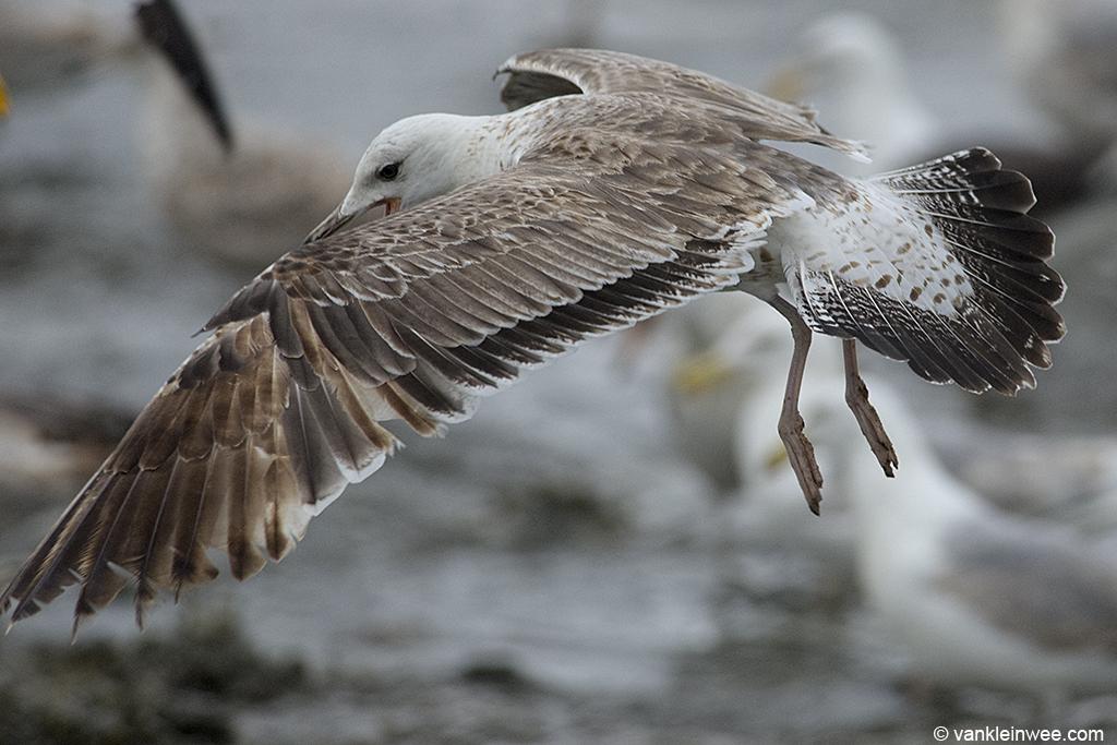 Second-calendar year Lesser Black-backed Gull. Noordwijk aan Zee, The Netherlands, 15 June 2013.