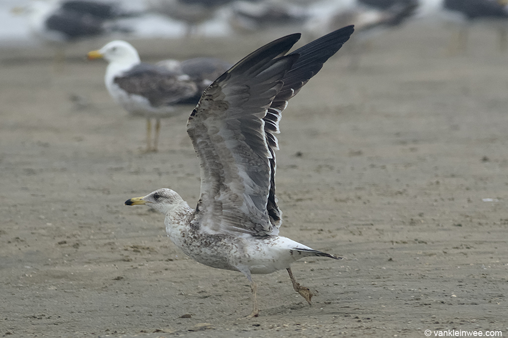 Underwing pattern of left wing in Bird #1. 2nd-calendar year Baltic Gull. Noordwijk aan Zee, The Netherlands, 22 Jun 2013.