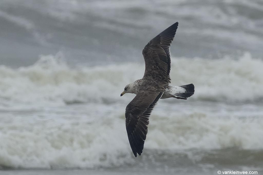 Presumed 2nd-calendar year Baltic Gull. Noordwijk aan Zee, The Netherlands, 22 Jun 2013.