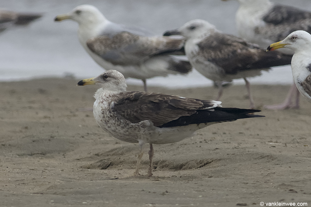 Presumed 2nd-calendar year Baltic Gull. Noordwijk, The Netherlands, 22 Jun 2013.