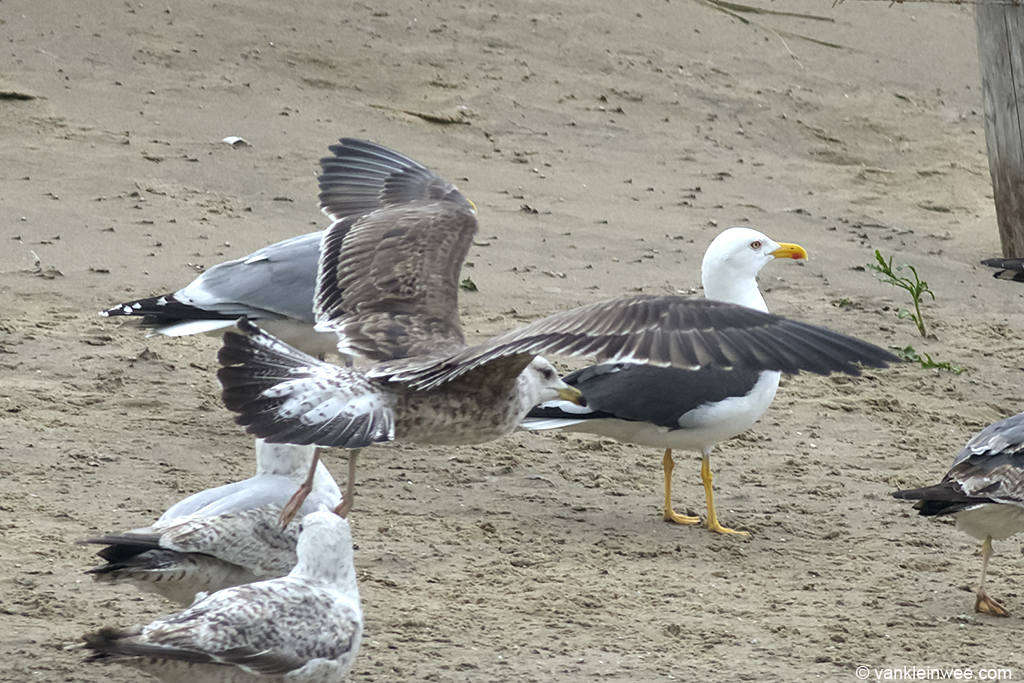 View on the upper tail coverts of Bird #2. 2nd-calendar year Baltic Gull. Noordwijk aan Zee, The Netherlands, 22 Jun 2013.