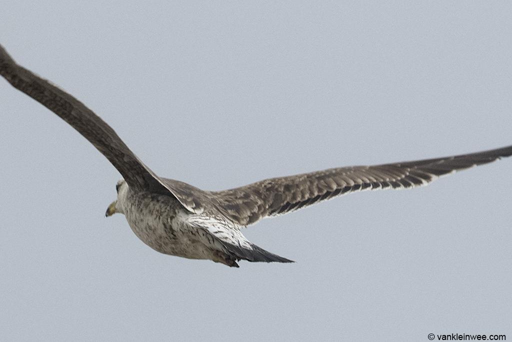 View of the lower body of bird #2. 2nd-calendar year Baltic Gull. Noordwijk aan Zee, The Netherlands, 22 Jun 2013.