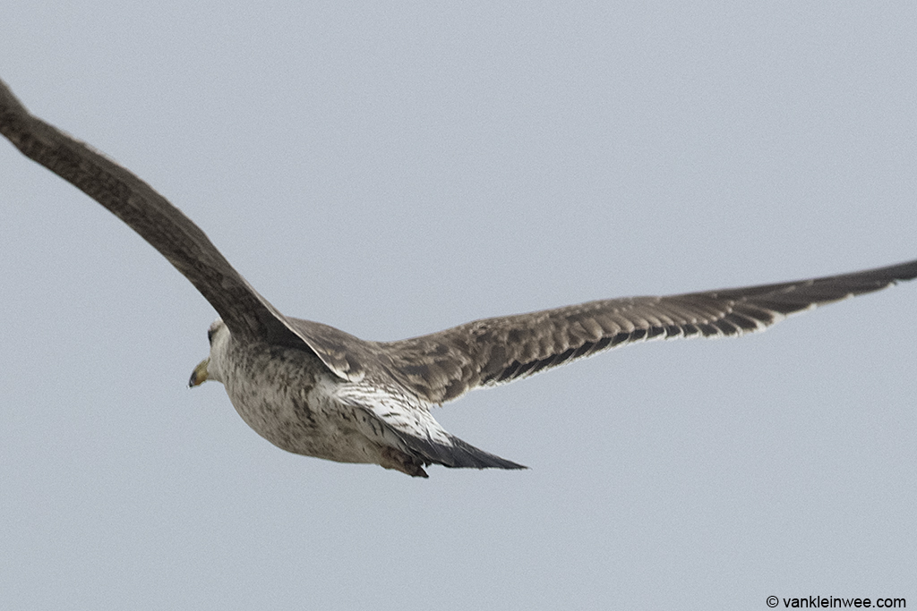 View of the lower body of bird #2. 2nd-calendar year Baltic Gull. Noordwijk aan Zee, The Netherlands, 22 Jun 2013.
