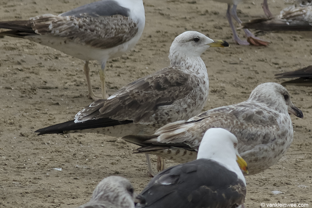 Bird #2. 2nd-calendar year Baltic Gull. Noordwijk aan Zee, The Netherlands, 22 Jun 2013.