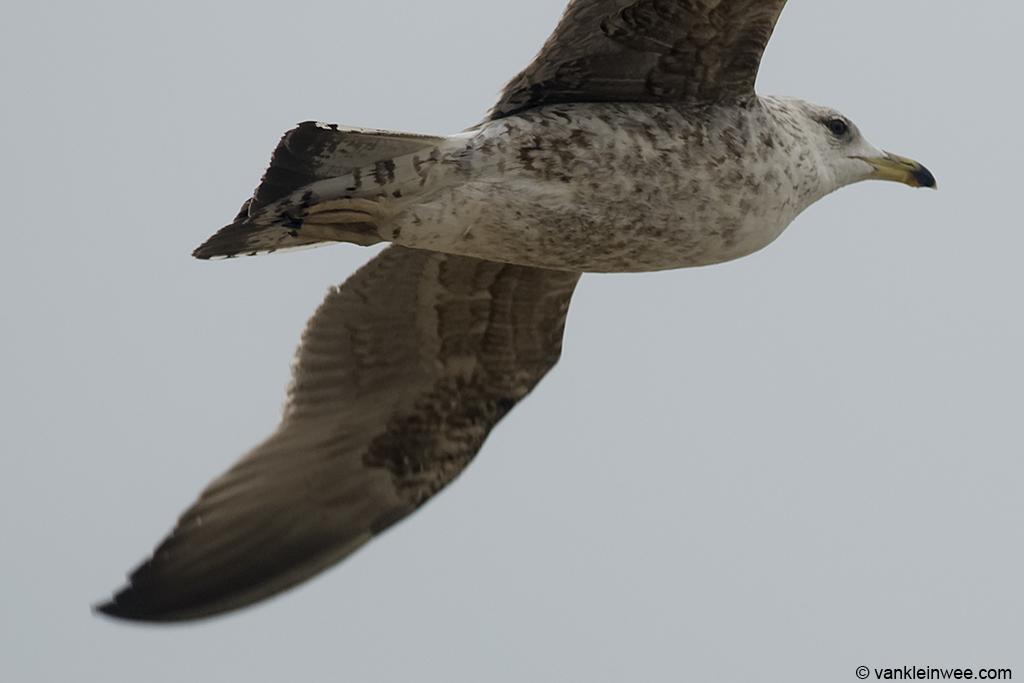 Under wing pattern of left wing in Bird #2. 2nd-calendar year Baltic Gull. Noordwijk aan Zee, The Netherlands, 22 Jun 2013.