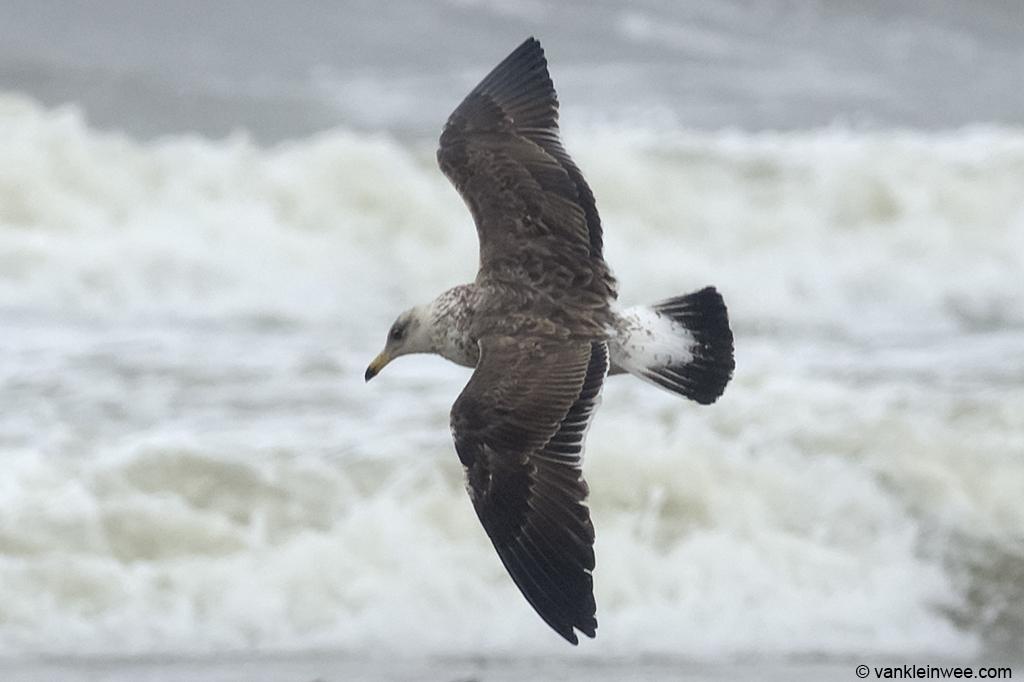 View on the upper tail coverts of Bird #1. 2nd-calendar year Baltic Gull. Noordwijk aan Zee, The Netherlands, 22 Jun 2013.