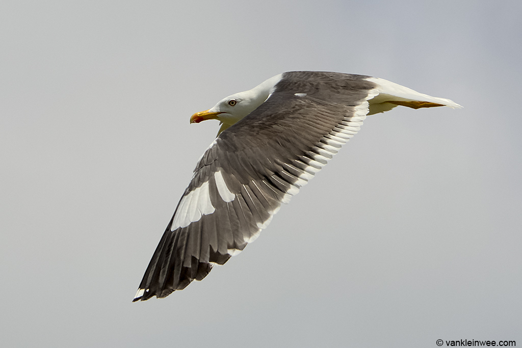 Adult Lesser Black-backed Gull with leucistic primary coverts. Texel, The Netherlands, 8 June 2013.