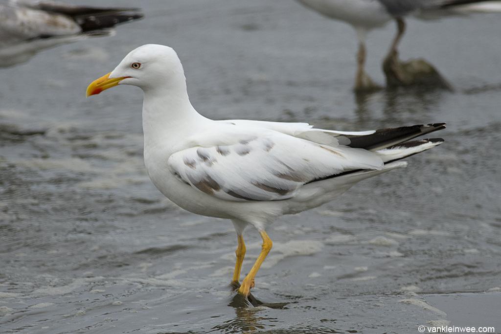 Leucistic Lesser Black-backed Gull. Noordwijk aan Zee, The Netherlands, 14 June 2013.