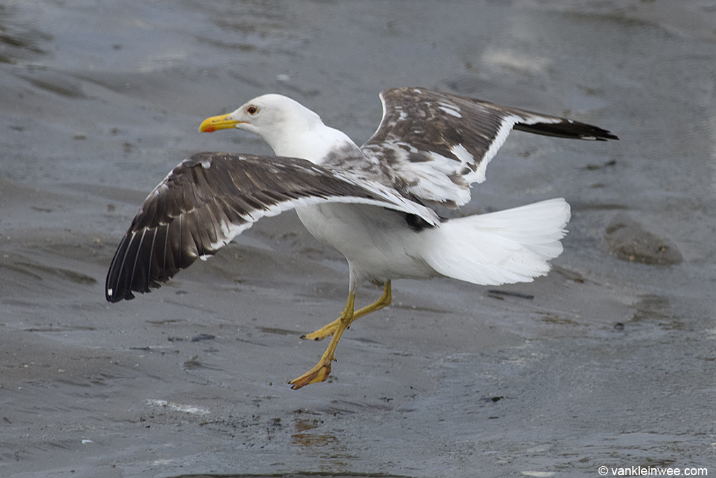 Partly-leucistic Lesser Black-backed Gull. Noordwijk aan Zee, The Netherlands, 15 June 2013.