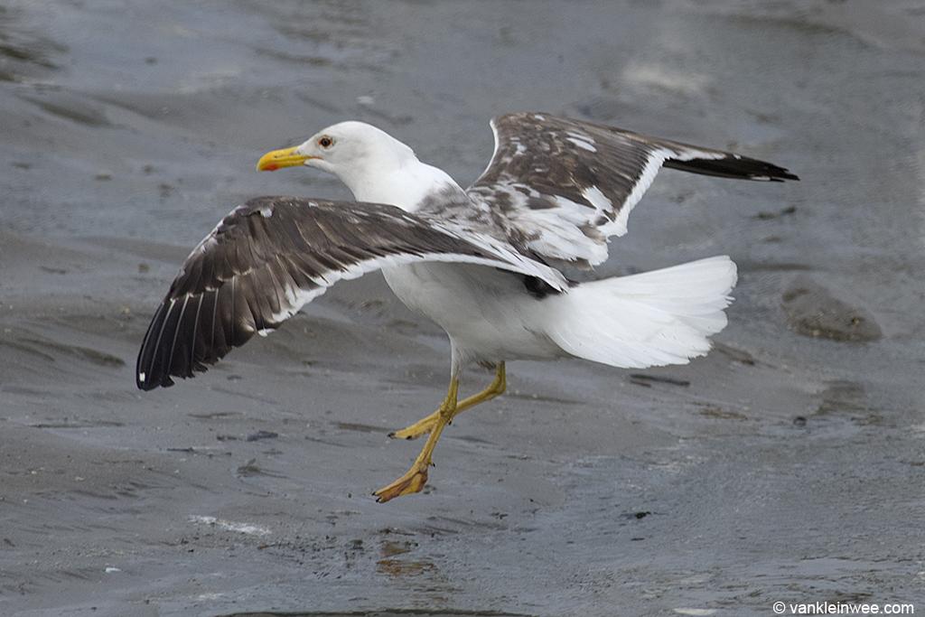 Partly-leucistic Lesser Black-backed Gull. Noordwijk aan Zee, The Netherlands, 15 June 2013.