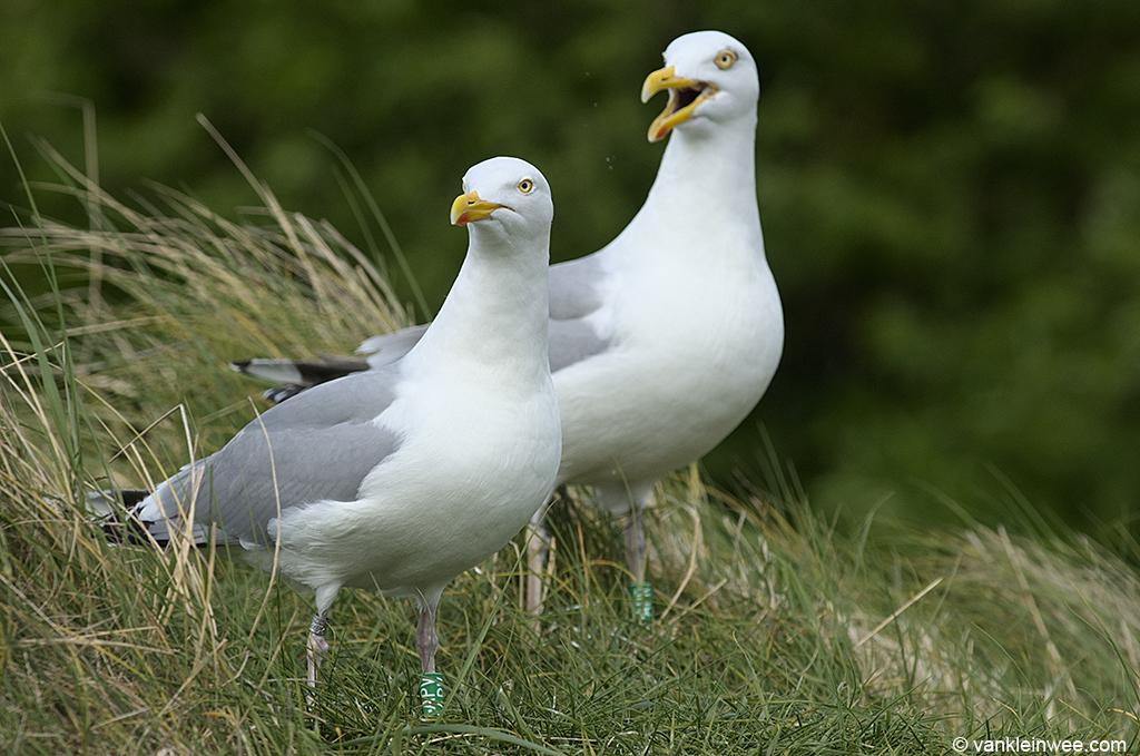 Female European Herring Gull (left), ringed as Green F.APV with partner Green M.APR. Texel, The Netherlands, 8 June 2013.