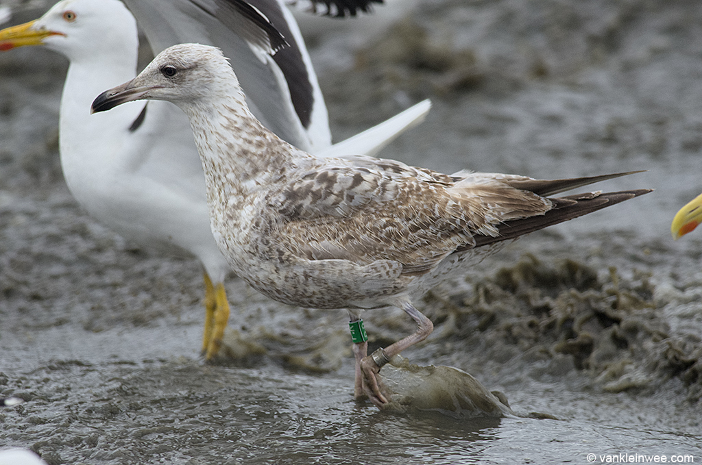 Second-calendar year European Herring Gull Green P.R. Noordwijk aan Zee, The Netherlands, 15 June 2013.