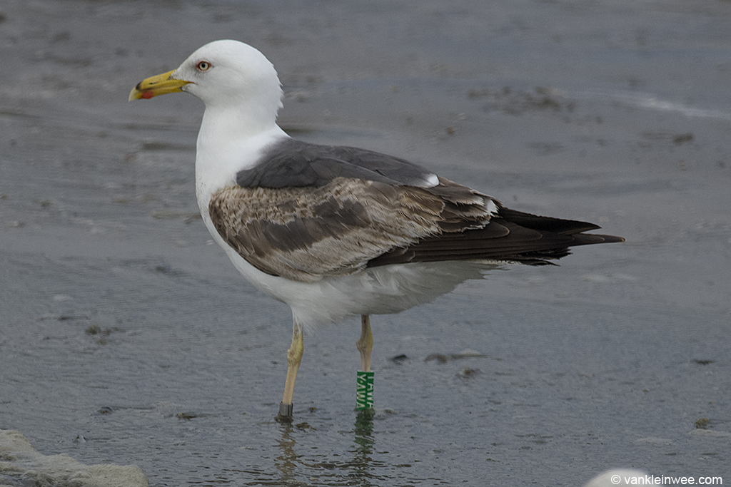 Third-calendar year Lesser Black-backed Gull Green Y.AWA, ringed in the nearby colony of IJmuiden. Noordwijk aan Zee, The Netherlands, 15 June 2013.