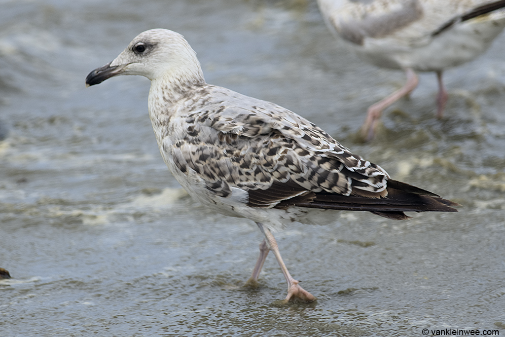 Splendid looking second-calendar year Yellow-legged Gull. Noordwijk aan Zee, The Netherlands, 23 June 2013.