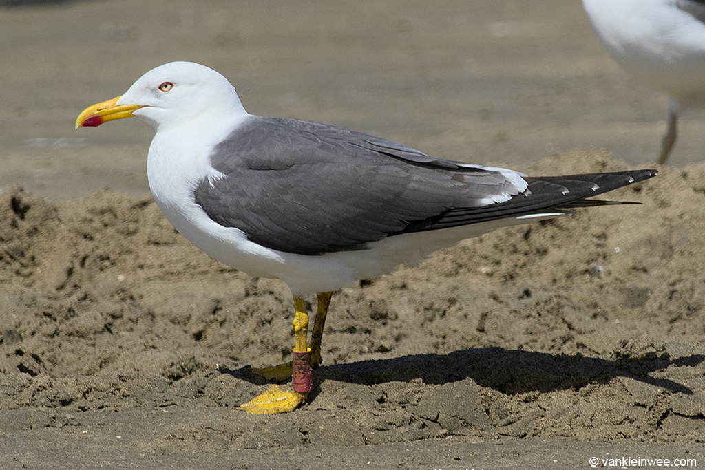 Adult Lesser Black-backed Gull with French ring Red 134K. Noordwijk aan Zee, The Netherlands, 15 June 2013.