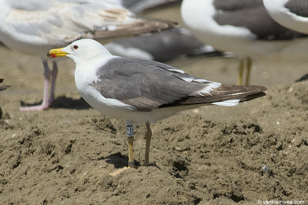 Fourth-calendar year Lesser Black-backed Gull White 2.9. Noordwijk aan Zee, The Netherlands, 15 June 2013.