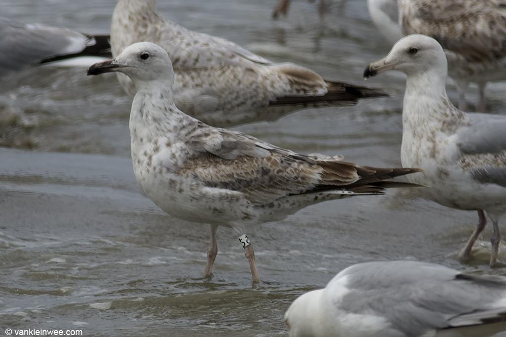 2nd-Calendar year Caspian Gull with ring White C+. Noordwijk aan Zee, The Netherlands, 14 June 2013.