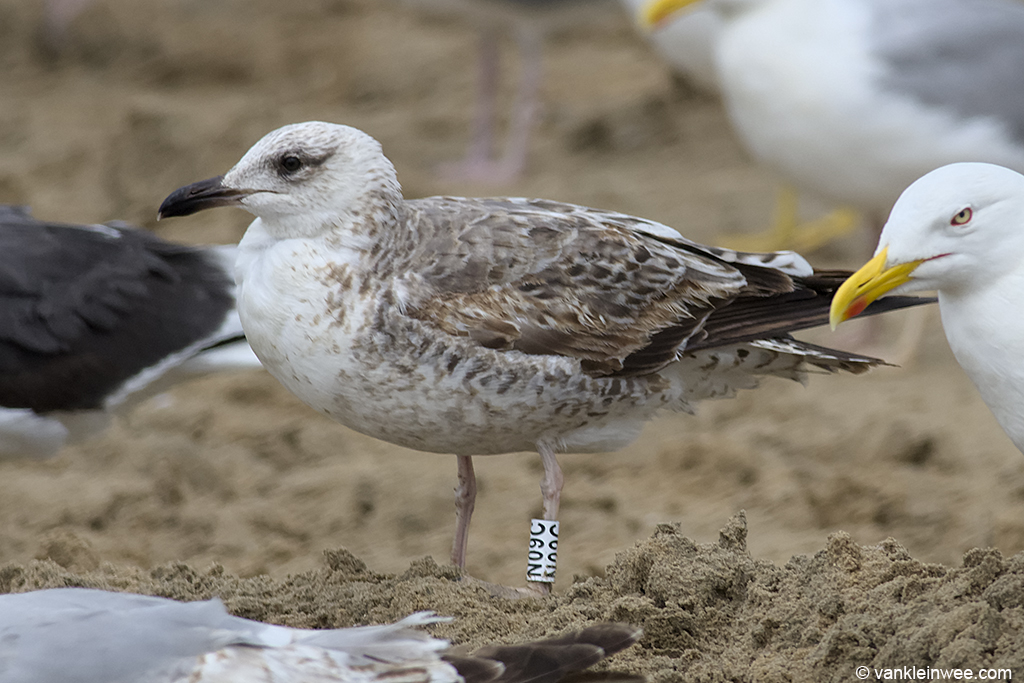 Second-calendar year Lesser Black-backed Gull, ringed in Malaga, Spain. Noordwijk aan Zee, The Netherlands, 15 June 2013.