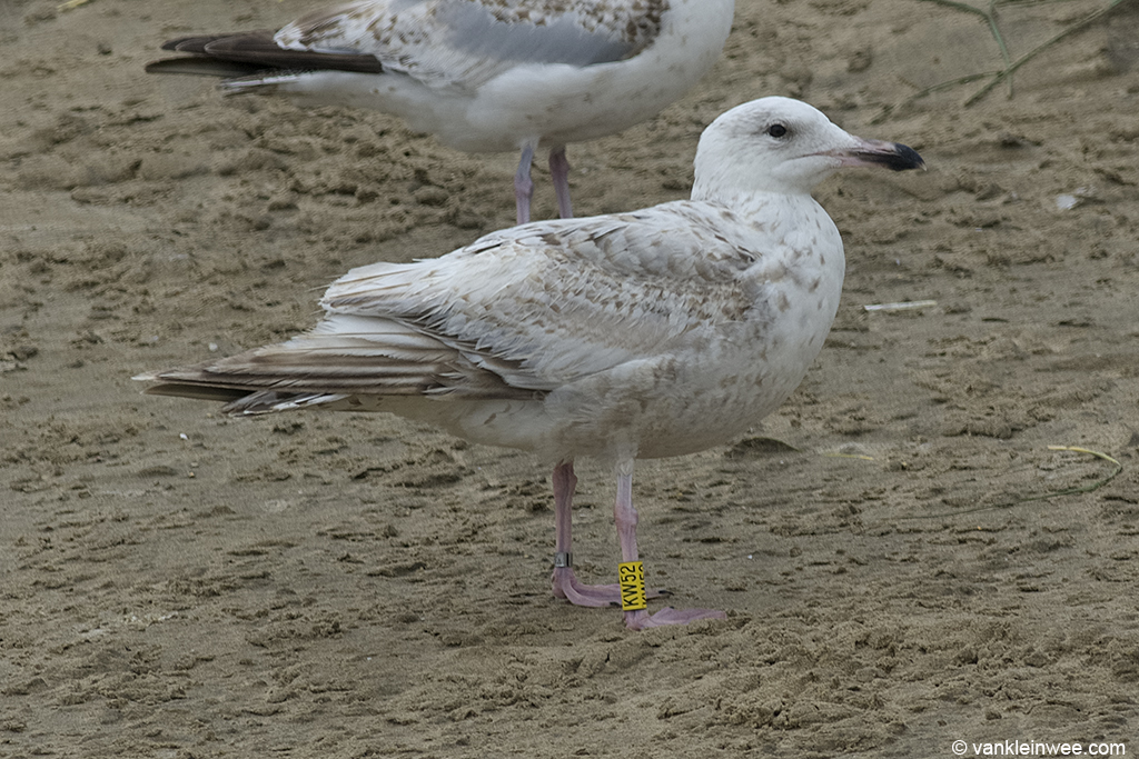 Second-calendar year Scandinavian Herring Gull Yellow KW52. Noordwijk aan Zee, The Netherlands, 23 June 2013.
