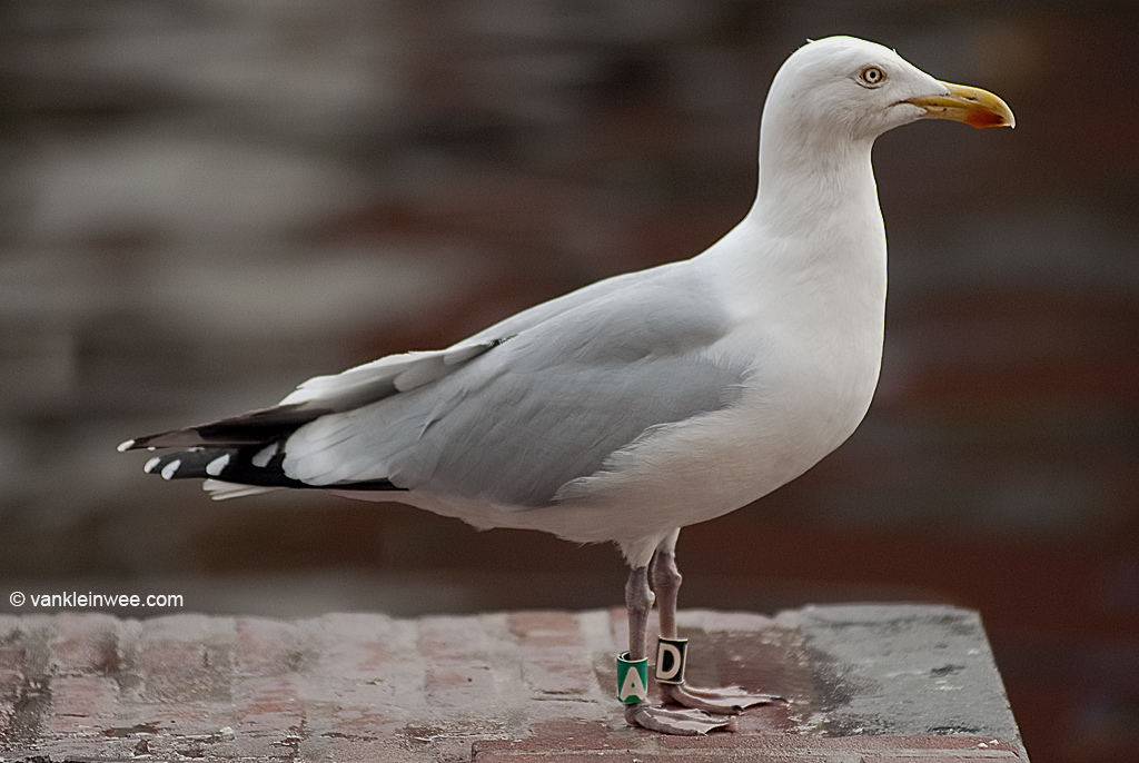 26th-Calendar year Herring Gull, ringed as Black D, Green A. Leiden, The Netherlands, 2 April 2011.