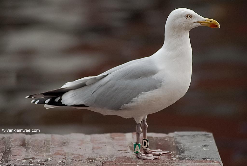 26th-Calendar year Herring Gull, ringed as Black D, Green A. Leiden, The Netherlands, 2 April 2011.