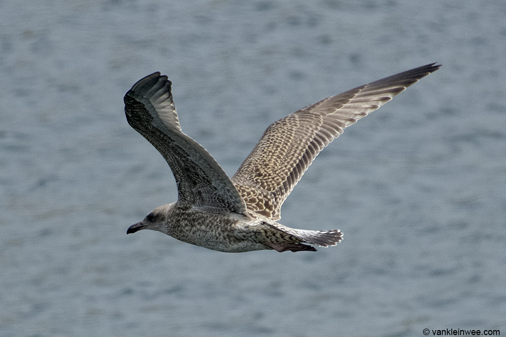My first flying juvenile European Herring Gull of the season. IJmuiden, 14 July 2013.