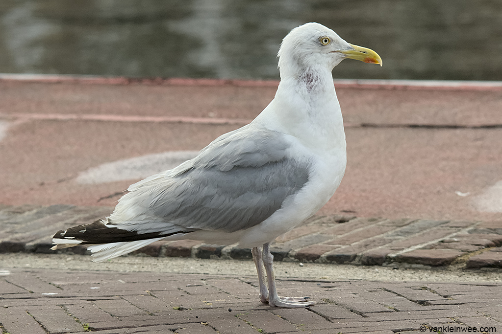 European Herring Gull, presumed to be of old age, based on the bare patch in the neck. Leiden, The Netherlands, 29 July 2010.