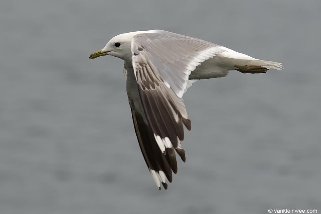 Third-calendar year Common Gull. Zoetermeer, 16 July 2013.