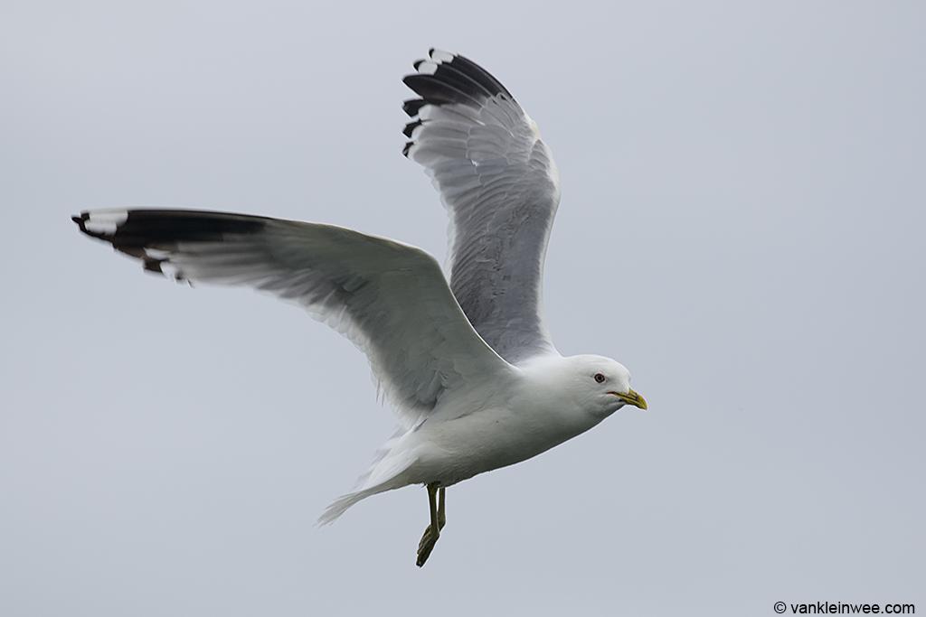 Adult Common Gull. Zoetermeer, The Netherlands, 29 June 2013.
